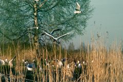 Black-headed gulls formed colony that has built nests. And lay eggs. Spring revival. Restless nesting bird life royalty free stock images