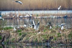Black-headed gulls formed colony on small island. Settlements of water birds. Breeding, nesting of birds in early spring royalty free stock images