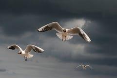 Black Headed Gulls Stock Image