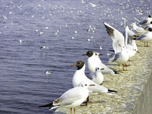 Black-headed Gulls in haigeng dam. A row of gulls standing on the haigeng dam and some inside Dianchi Lake in kunming city Yunnan province China royalty free stock photography