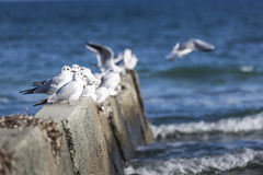 Black headed gulls in high wind and rough seas. Royalty Free Stock Photography