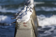 Black headed gulls in high wind and rough seas. Royalty Free Stock Image