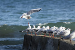 Black headed gulls in high wind and rough seas. Stock Photo