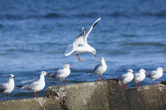 Black headed gulls in high wind and rough seas. Royalty Free Stock Photos