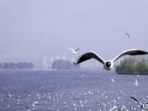 Black-headed Gulls hovering. Common Black-headed Gulls flying over Dianchi lake in Haigeng dam in kunming city Yunnan province China Stock Photos