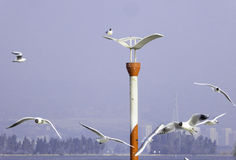Black-headed Gulls hovering. Common Black-headed Gulls flying on the viewing road in Haigeng dam near Dianchi Lake in kunming city Yunnan province China Stock Images