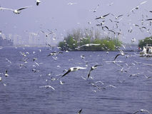Black-headed Gulls hovering. A group of seagulls flying over Dianchi Lake near Haigeng dam in kunming city Yunnan province China Stock Photos
