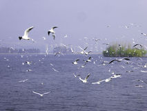 Black-headed Gulls hovering. Many seagulls flying over Dianchi lake in Haigeng dam in kunming city Yunnan province China Royalty Free Stock Photos