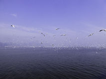 Black-headed Gulls hovering. Many seagulls flying over Dianchi lake in Haigeng dam in kunming city Yunnan province China Stock Photos