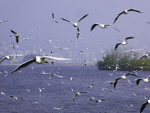 Black-headed Gulls hovering. Many seagulls flying over Dianchi lake in Haigeng dam in kunming city Yunnan province China Royalty Free Stock Images