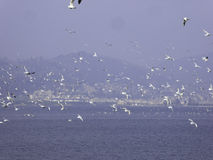 Black-headed Gulls hovering. Many seagulls flying over Dianchi lake with western hill background  in Haigeng dam in kunming city Yunnan province China Stock Photos