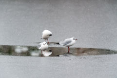 Black-headed gulls on the ice Stock Photography