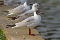 Black-headed Gulls Royalty Free Stock Image