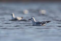 Black-headed gulls Larus ridibundus swimming on water surface Stock Photography