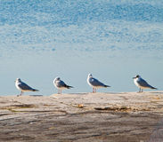 Black - headed gulls lined up on the dock. Stock Image