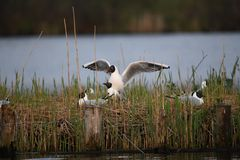 Black-headed gulls are making love stock images