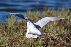 Black Headed gulls Stock Photography
