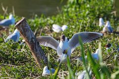 Black Headed Gulls that mate Royalty Free Stock Photography