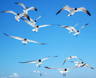 Black-headed Gulls, Outer Banks, North Carolina, USA Royalty Free Stock Images
