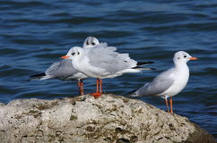 Black headed gulls on rock Stock Photos