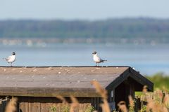 Black headed gulls on a roof Royalty Free Stock Photography