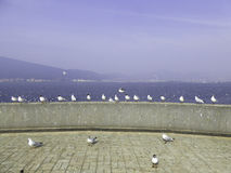 Black-headed Gulls in rows Royalty Free Stock Photos