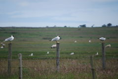 3 black headed gulls on separate posts Royalty Free Stock Images