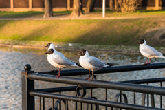 Black-headed gulls are sitting on the railing. Blackhead seagulls sitting on the railing of the fence near the pond in the city park Royalty Free Stock Photos