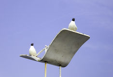 Black-headed Gulls on a street lamp Stock Images