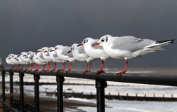 Black Headed gulls in strong wind. Royalty Free Stock Images