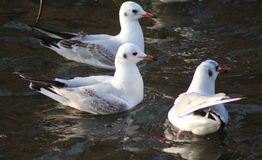 Black-headed gulls swimming. Black-headed gulls, Chroicocephalus ridibundusswimming, in the lake searching for food. THe gull have a winterplumage Royalty Free Stock Images