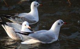 Black-headed gulls swimming. Black-headed gulls, Chroicocephalus ridibundusswimming, in the lake searching for food. THe gull have a winterplumage Stock Image