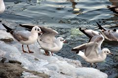Black-headed gulls Royalty Free Stock Image