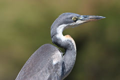 Black-headed Heron Stock Images