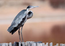 Black Headed Heron Stock Photography