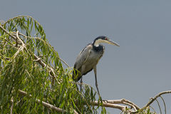 Black Headed Heron. With a storm approaching, the sun light lighting up the Black Headed Heron perched on a Weeping willow tree royalty free stock image