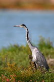 Black Headed Heron Royalty Free Stock Image