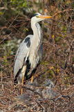 Black Headed Heron Royalty Free Stock Images