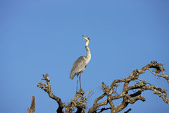 Black-headed Heron. A Black-headed Heron perched on top of a tree, Addo Elephant National Park Royalty Free Stock Image