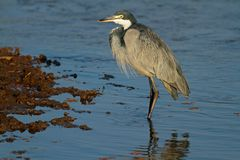 Black-headed heron Royalty Free Stock Photo