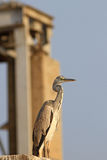 The black-headed heron - Ardea melanocephala Royalty Free Stock Photos