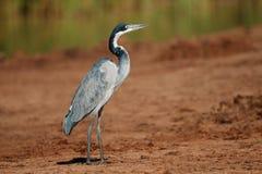 Black-headed heron Royalty Free Stock Image