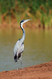 Black-headed heron Royalty Free Stock Photos