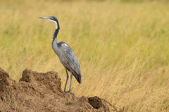 A black-headed heron Stock Images