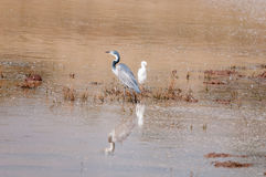 Black-headed heron and a cattle egret Stock Images