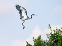 Black headed heron coming in to land Royalty Free Stock Images