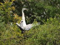 Black Headed Heron. Displaying on top of tree by Lake Panic Kruger Park Stock Photo