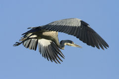 Black-headed Heron Stock Photos