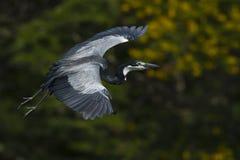 Black-headed Heron stock photos