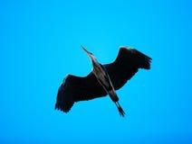 Black-headed heron flying against sky Stock Image